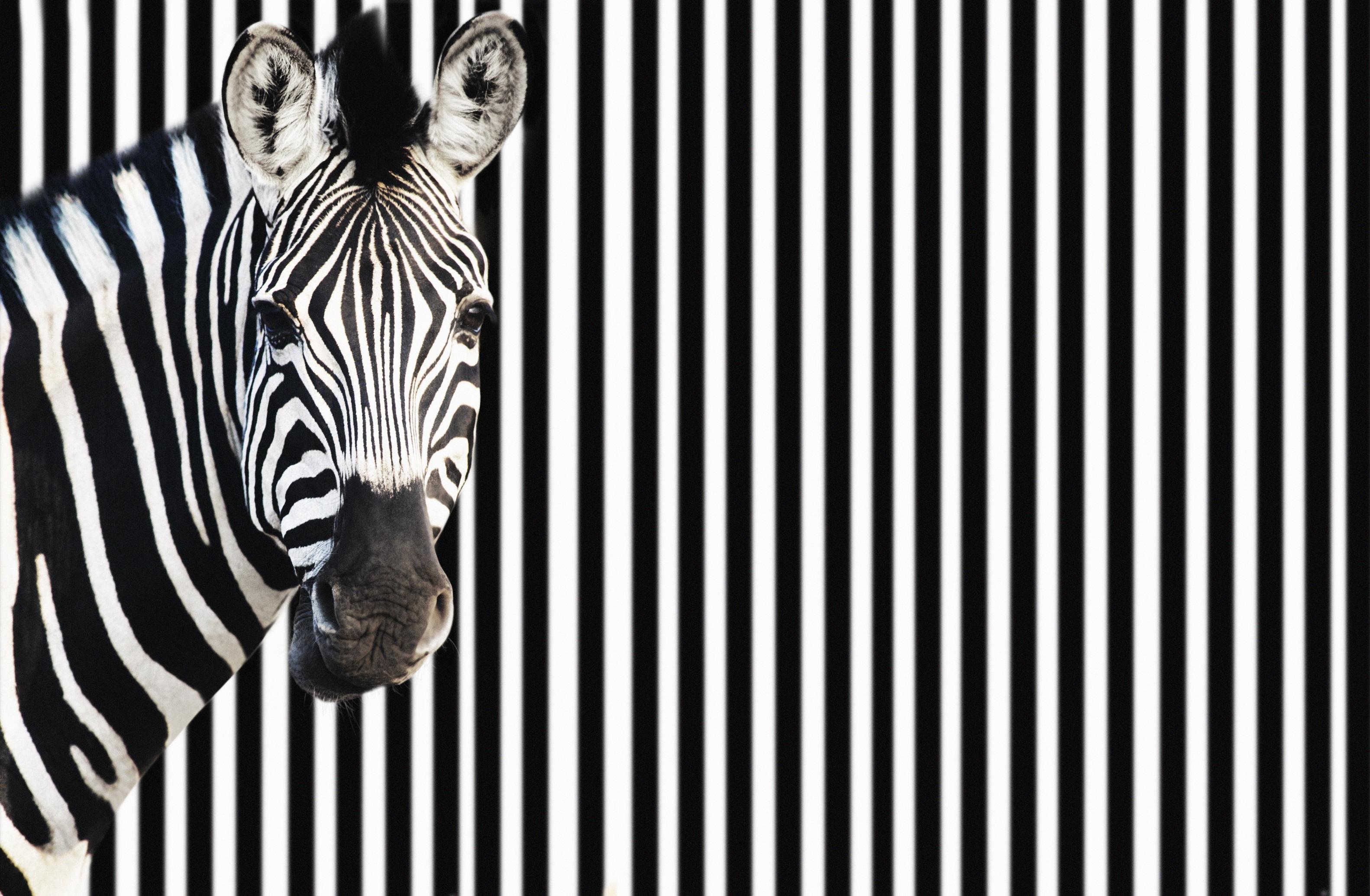Zebra against background of black and white stripes